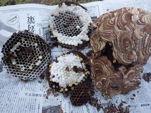伊達市で駆除したスズメバチの巣.jpg