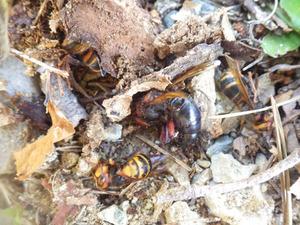 会津美里町で巣の中のスズメバチたち.jpg
