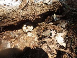 会津美里町で廃木の下のスズメバチの巣.jpg