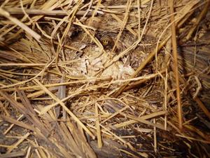 会津美里町で稲わらの中にあったスズメバチの巣.jpg