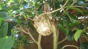 会津若松市でツバキのスズメバチの巣.jpg