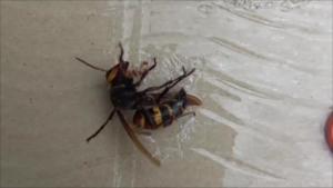 会津若松市で捕獲したスズメバチの女王蜂.png