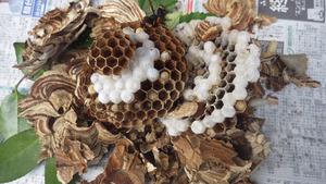 会津若松市で駆除したスズメバチの巣.jpg
