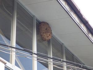 体育館の軒下に作ったでかいキイロスズメバチの巣(田村市).jpg