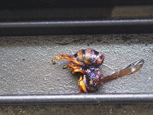 出窓の付近をうろついていたキイロスズメバチの女王蜂を駆除(福島県三春町).jpg