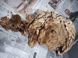北塩原村で駆除したスズメバチの巣.jpg