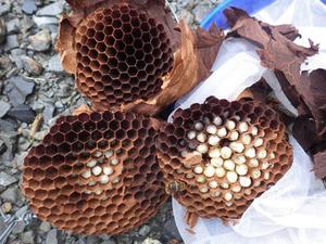 古殿町で駆除したスズメバチの巣-引っ越し巣.jpg