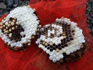 古殿町で駆除したスズメバチの巣-母巣.jpg