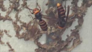 喜多方市で巣跡でウロウロするスズメバチ.png
