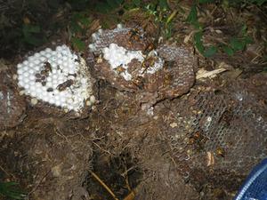 土の中のオオスズメバチの巣を駆除(郡山市).jpg