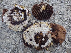 土の中のキイロスズメバチの巣を駆除(いわき市).jpg