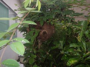 垣根の枝に作られたコガタスズメバチの巣(福島市).jpg
