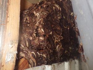 壁の中にあるキイロスズメバチの巣(福島県古殿町).jpg