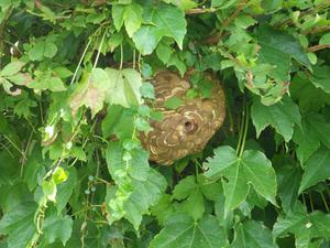 大玉村で生垣のスズメバチの巣.jpg