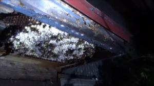 大玉村で軒裏天井のスズメバチの巣.png