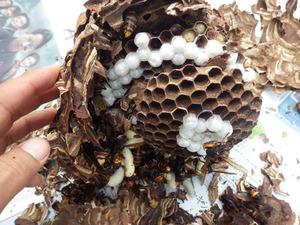 大玉村で駆除したスズメバチの巣.jpg