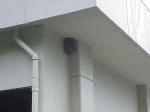 天栄村の体育館の高い所にあった巨大化したキイロスズメバチの巣(福島県天栄村).jpg