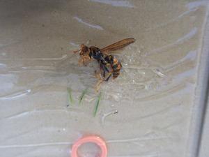 太陽光パネルに巣を作ったセグロアシナガバチの女王蜂を粘着板で捕獲(福島県).jpg