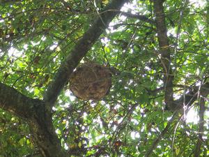 小野町でサクラにスズメバチの巣.jpg