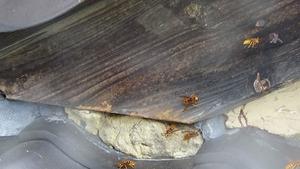 小野町でスズメバチの巣への出入り口.jpg