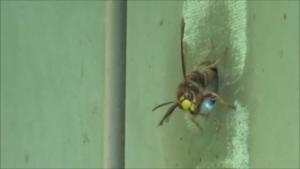 小野町で壁の巣からスズメバチが.png