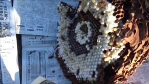 小野町で駆除したスズメバチの巣.png