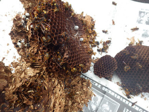 小野町で駆除したスズメバチの巣内.jpg