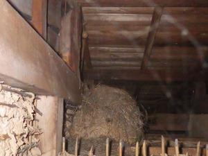 屋根裏のスズメバチの古い巣の中にマルハナバチの巣がある(福島県三春町).jpg