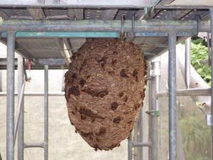 工事現場の足場にあった巨大なキイロスズメバチの巣(福島市).jpg