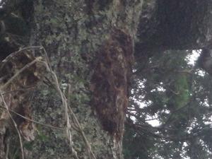 平田村で巣を撤去跡から出入りするスズメバチ.jpg