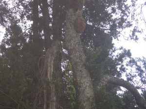 平田村で幹のスズメバチの巣.jpg