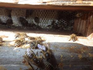 床の隙間の向こうにニホンミツバチの巣(喜多方市、2014年3月17日).jpg