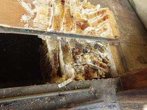 床下にあったニホンミツバチの巣(喜多方市、2014年3月17日).jpg