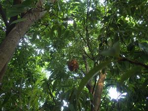 庭木にあった大きいコガタスズメバチの巣(郡山市).jpg