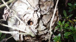 昨年のスズメバチの巣で巣穴の門番しているようなスズメバチ(田村市).jpg
