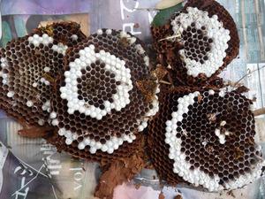 本宮市で駆除したスズメバチの巣.jpg