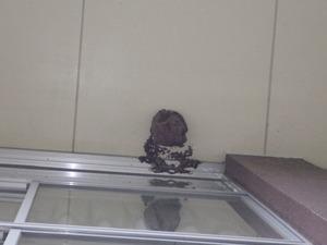 本宮市の地域体育館の軒下に作られたキイロスズメバチの巣(本宮市).jpg