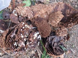 杉の木に作った巨大なキイロスズメバチの巣を駆除(福島県).jpg