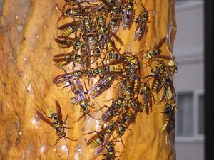 桑折町で柱に群がるアシナガバチ集団.jpg