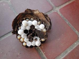 棚に作ったコガタスズメバチの巣を駆除(福島市、2016年7月3日).jpg