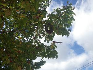 樹木に作ったコガタスズメバチの巣(喜多方市、2013年10月10日).jpg