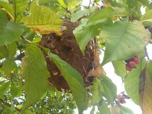 樹木の枝葉に隠れるコガタスズメバチの巣(喜多方市、2013年10月10日).jpg