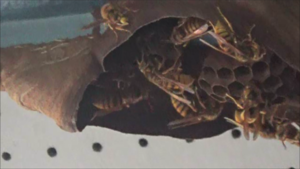 泉崎村でスズメバチの引っ越し巣.png