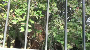 泉崎村で生垣に作ったスズメバチの巣.png