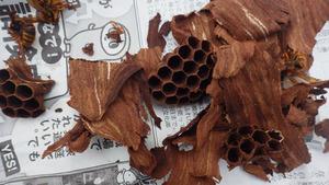 泉崎村で駆除したスズメバチの引っ越し巣.jpg