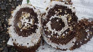 泉崎村で駆除したスズメバチの母巣.jpg