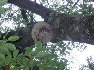 猪苗代町でサクラのスズメバチの巣.jpg
