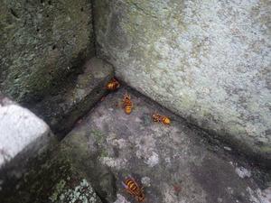 玉川村でお墓の中に出入りするスズメバチ.jpg