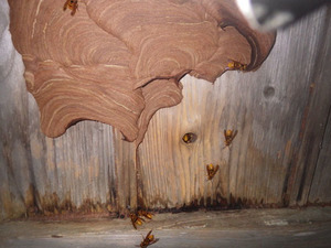 玉川村で壁の中のスズメバチの巣への節穴.jpg