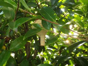 生垣に作ったトックリ型をしたコガタスズメバチの初期巣(郡山市).jpg